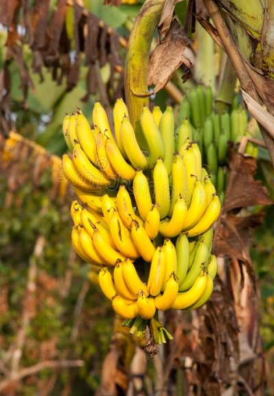 Как вырастить бананы в средней полосе