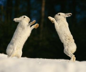 Зайцы скачут