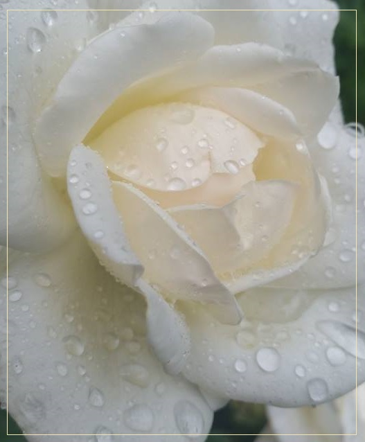 Утренние капли дождя  - август