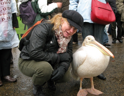 Встреча с пеликаном в саду Букингемского дворца