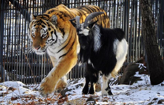 Сценарий поздравление с годом тигра фото 845