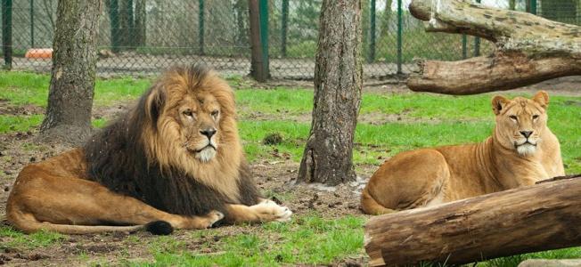 Посредине Крыма, в Белогорске, Собрано зверьё, из разных стран. Если вы не видели, не спорьте, Посетите лучше, парк Тайган. Я не скрою, поразило чудо, Словно вокруг света обошёл. Львы, жирафы, тигры и верблюды, Птицы всех мастей, осёл, козёл. Обезьяны, ры