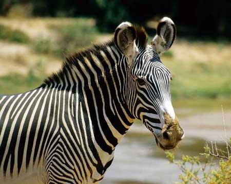 Зебра- поздравление с Годом лошади